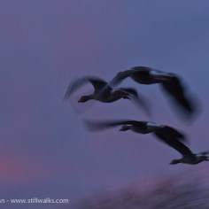 Geese on evening flight