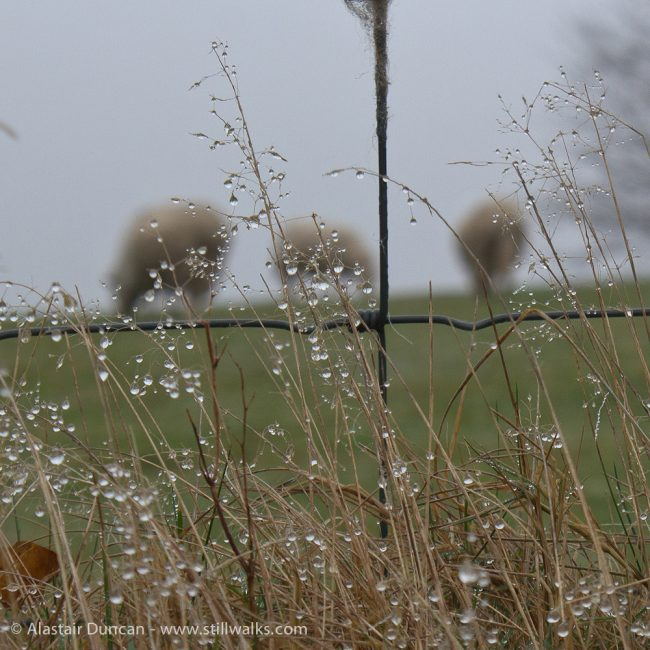 Dewey grass and sheep