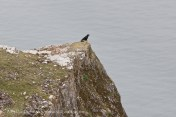 Crow on Rhossili Cliff