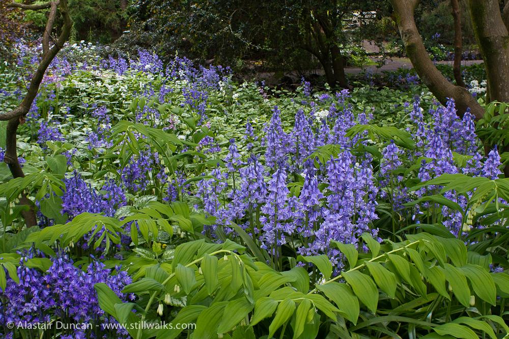Swansea Botanic mauve