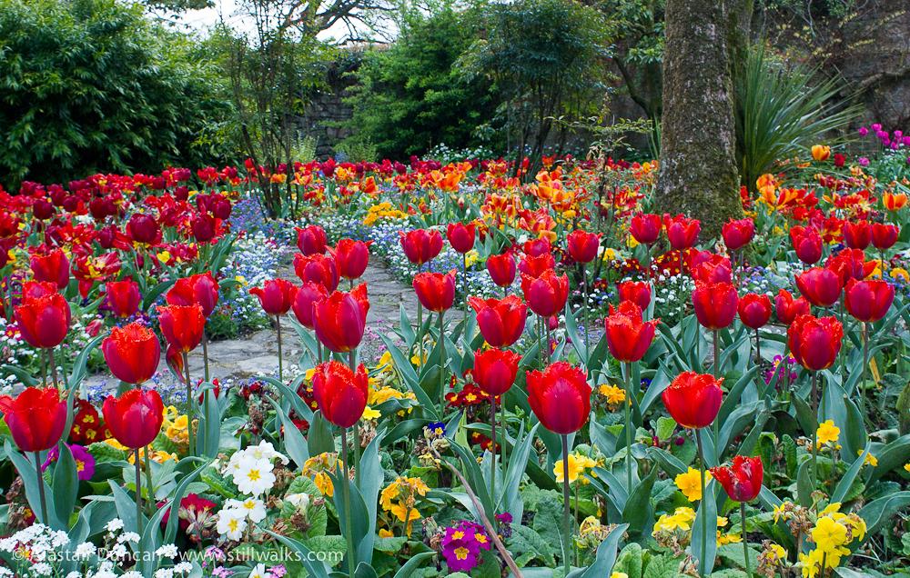 Red tulips at Swansea Botanic Garden