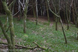 woodland bluebells-to-be