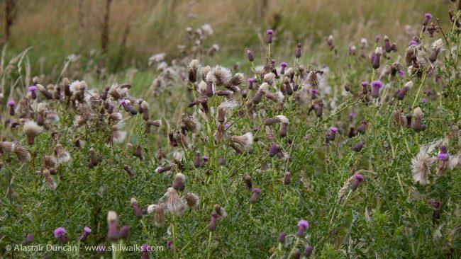 Dorset thistles on a windy wander