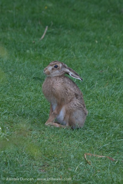Young hare - leveret