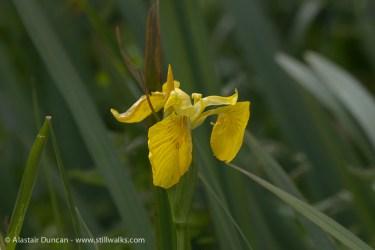 Wildflowers - yellow flag
