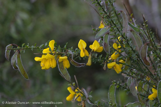 Wildflowers- broom