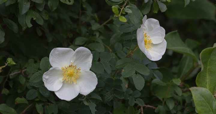 Wildflowers-wild rose