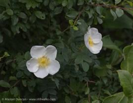Wildflowers-wild rose