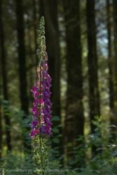 Forest Foxglove