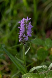 Wildflowers - wild orchid