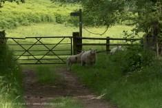 cautious sheep