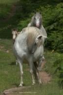 Wild Welsh Ponies