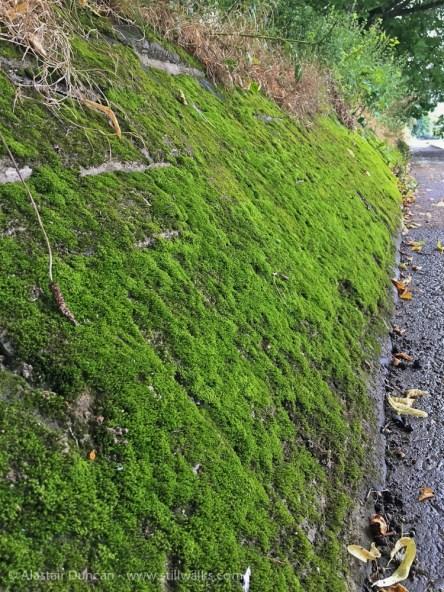 riverbank moss