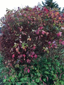 Autumn Dogwood