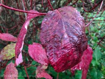 Autumn dogwood leaves