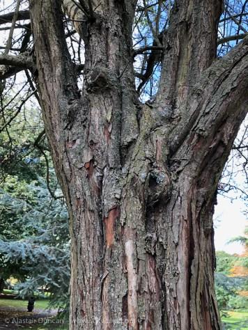 aged hawthorn