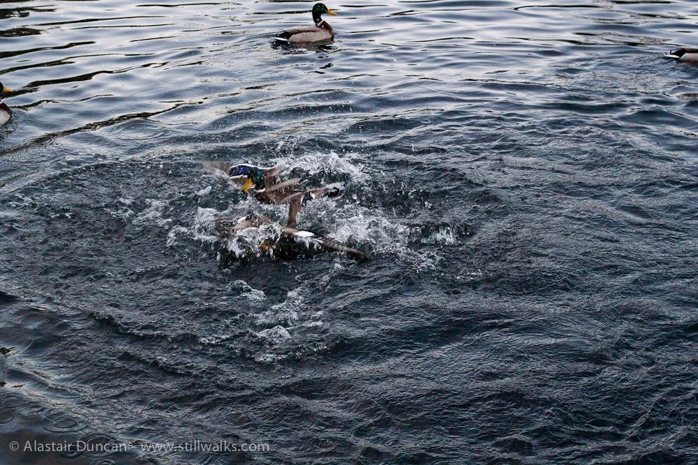 Fighting ducks 5