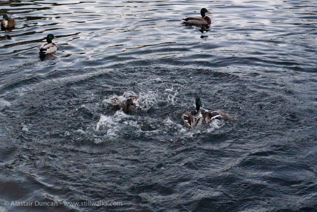 Fighting ducks 1