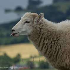 August - Welsh Sheep