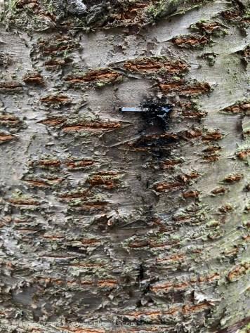 bark blemish