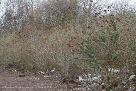 Old Butterfly bushes