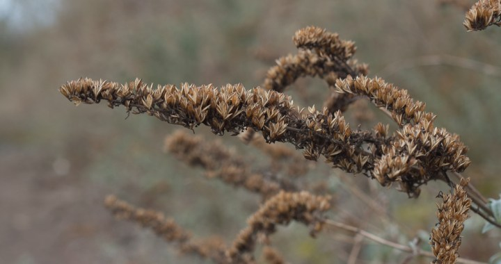 Old Buddleia flower