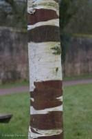silver birch bark 3