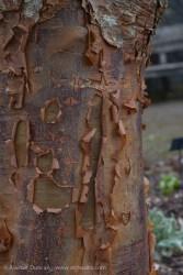 peeling rust bark