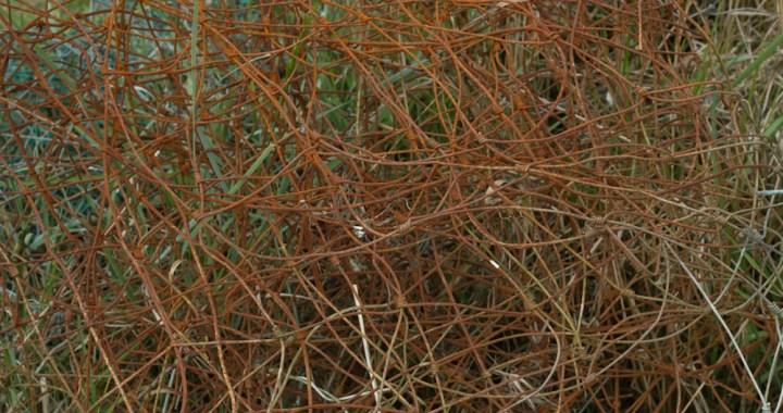rusty tangle