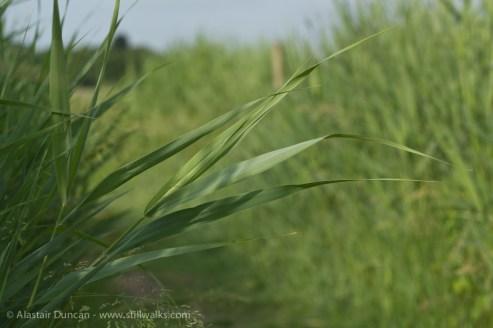 through the marsh grass
