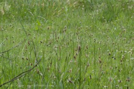ribwort plantains