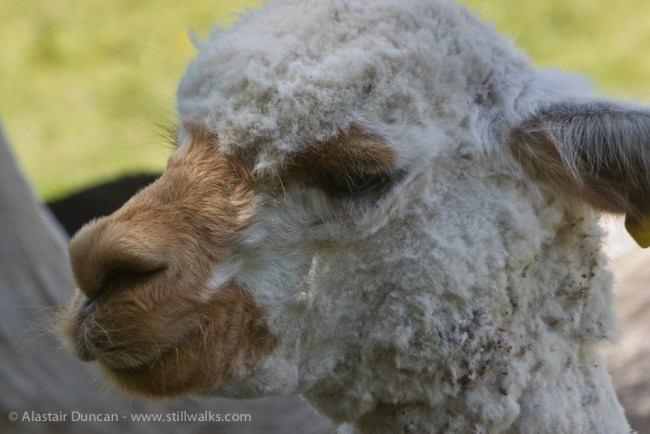 Alpaca close-up