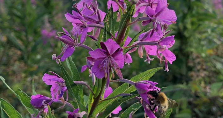 rosebay willow herb