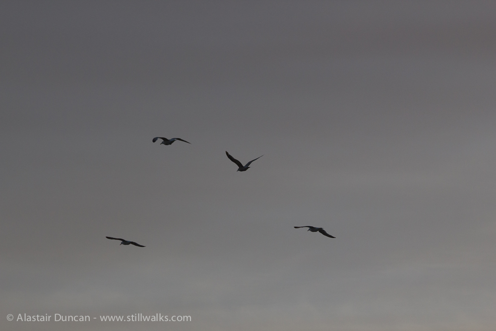 monochrome gulls
