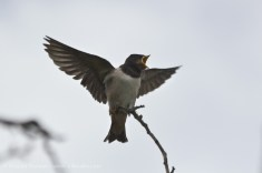 young swallow about to be fed