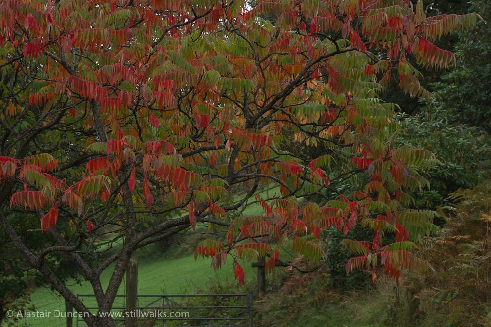 Autumn sumac