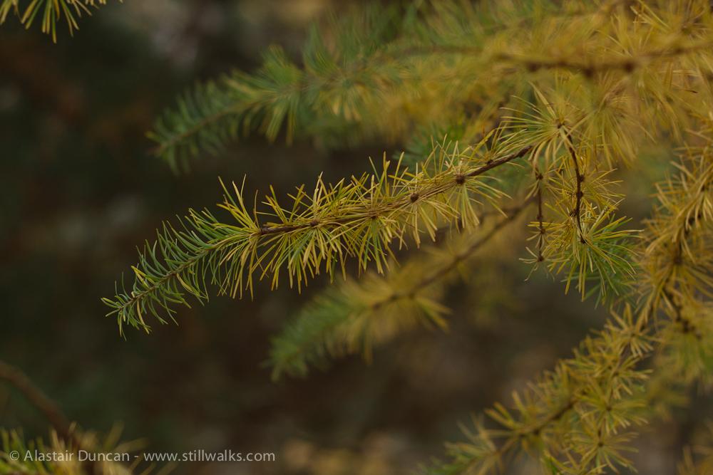 Autumn pine