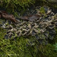 frilly fungi
