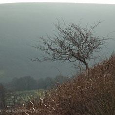solitary trees