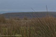 upland grasses