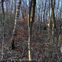 thin woodland