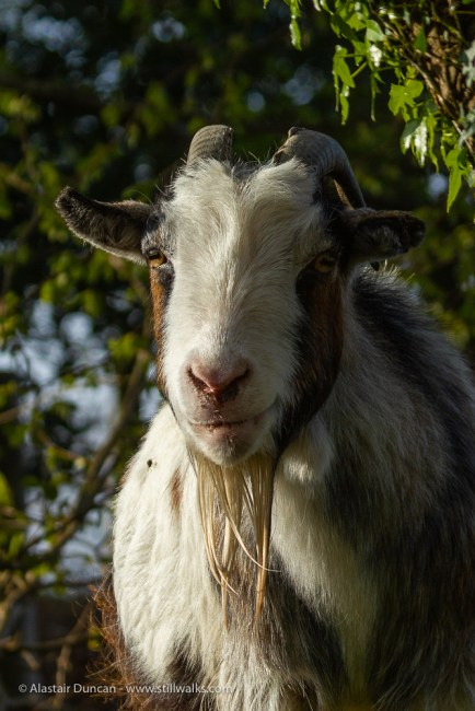 Goat with a smile