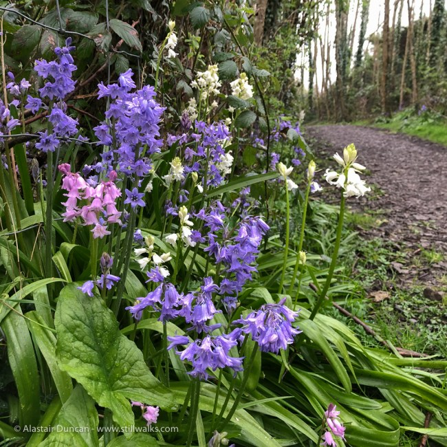 Bluebells en route