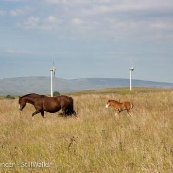 Mawr ponies