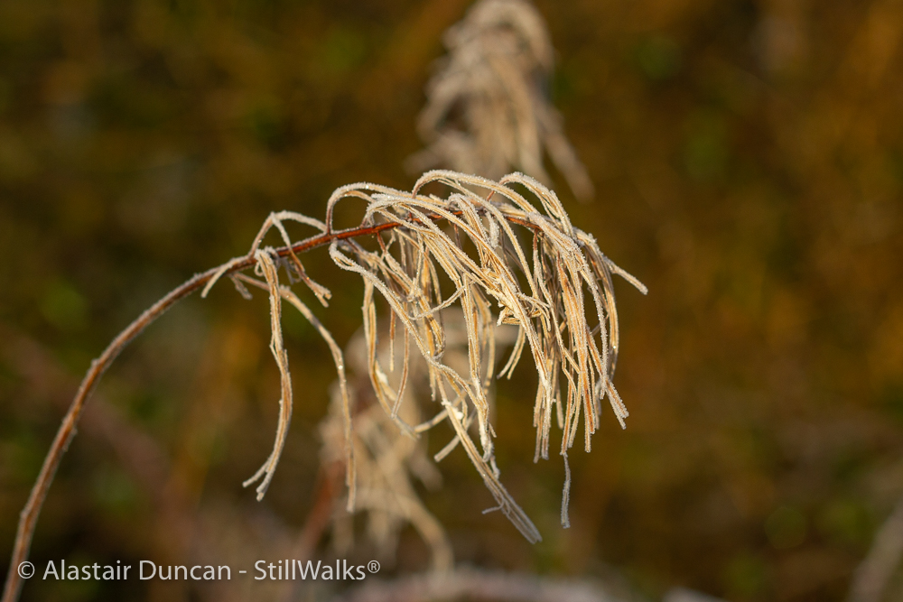 Rosebay willowherb detail
