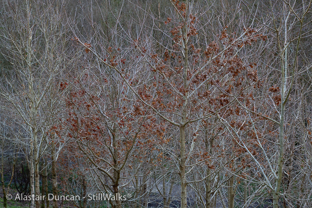 bare birch branches