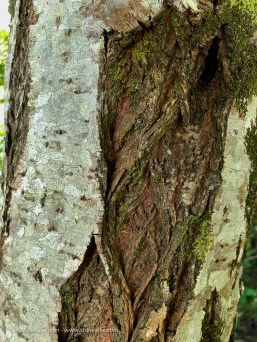 crusty bark