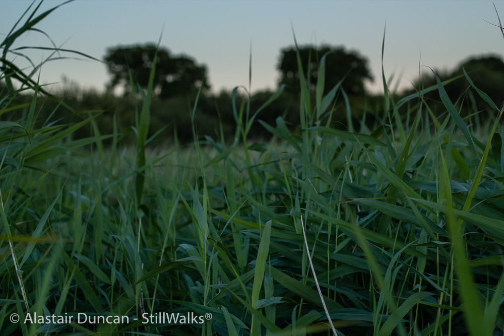tall marsh grasses