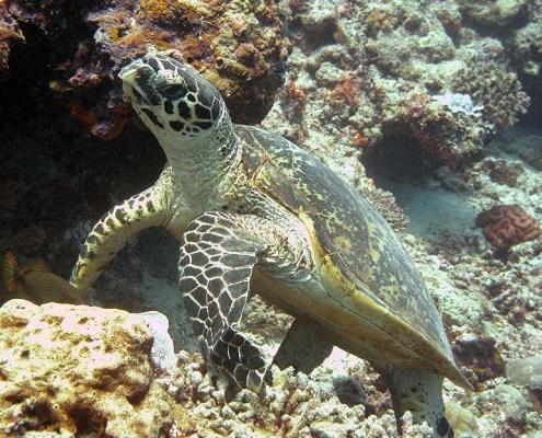 Stingray Divers - Tauchreise Apo Reef, Meeresschildkröte
