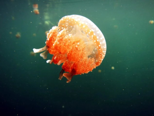 Jelly fish in Mariona Lake.